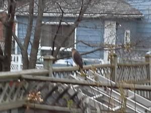 Cooper's Hawk (Dec 27/14 @ 4:00 PM)