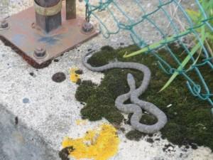 Basking Water Snake