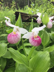 Showy lady slipper orchids (photo by Brian Maher)