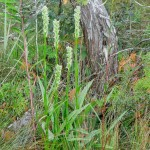 Tall Green Bog Orchid at Petrel Point. (Photo by Carol Harris)