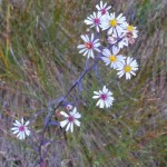 One of the many asters at Petrel Point. (Photo by Carol Harris)