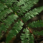 A Northern Lady Fern, Athyrium filix-femina var. forma rubellum. Note the reddish stalk. (Photos by Brian Robin)