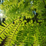 The underside of a Maidenhair Fern,Adiantum pedatum.