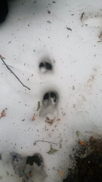 Deer tracks (Photo by Michelle Parkin)