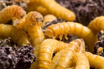 Mealworms, Tenebrio molitor, capable of digesting plastics and kale. (Photo By Brian Robin)