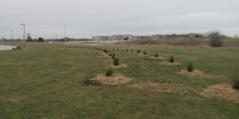White Spruce planted at Hospital grounds (Photo by John Dickson)