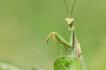 Mantis stare down in a soy field (Photo by Brian Robin)