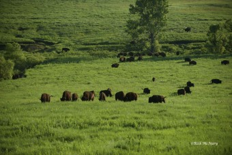 Grazing Bison. (photo by Rick May)