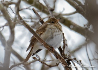 Hermit Thrush (Photo by Bruce Edmunds)