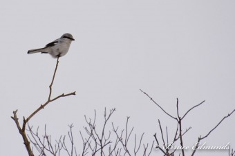 Northern Shrike (Photo by Bruce Edmunds)