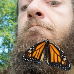 Beards- a new food source for Monarchs?(photo by Brian Robin)