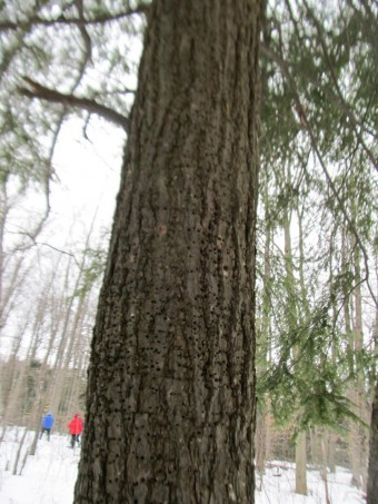 This tree displays the many holes created by a Yellow-bellied Sapsucker, in the forest of the Flesherton Hills (Photo by John Dickson)