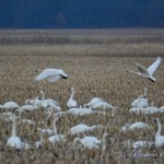 Tundra Swans, Grand Bend. Photo by Bruce Edmunds.