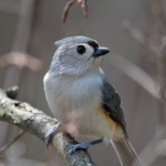Tufted Titmouse, Grand Bend. Photo by Bruce Edmunds.