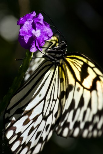"An exotic ""Ricepaper"" butterfly from the conservatory. (File photo/Brian Robin)"