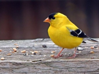 American Goldfinch (photo by David Turner)