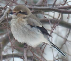 Bird at feeder Jan 10 and 7 2015 001