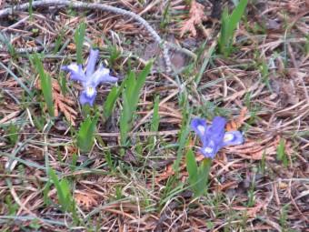 Dwarf Iris (Photo by John Dickson)