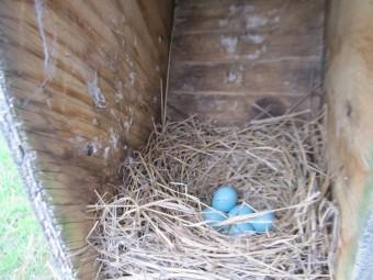 Eastern Bluebird eggs (Photo by John Dickson)