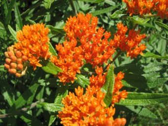 Butterfly Weed in Canatara Park (photo supplied by Nikki May)