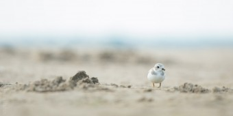 Piping Plover from 2017 (Photo by Brian Robin).
