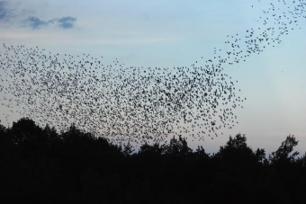Starling Mumuration in Meaford. (Photo by Peter Middleton)