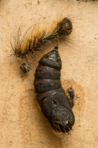 Gypsy Moth Pupa, an invasive defoliator. (Photo by Brian robin)