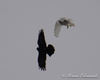 Common Raven vs Snowy Owl (Photo by Bruce Edmunds)