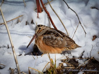 American Woodcock, April 1st, Kincardine. Photo by Bruce Edmunds.