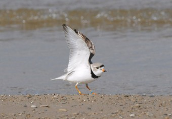 Piping Plover (photo by Kiah Jasper)